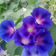 #flowersinbloom #blueflowers #morningglories #newcastlede