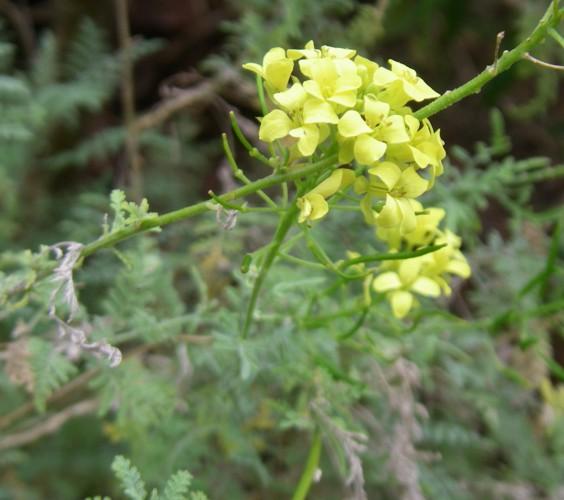 Descurainia millefolia 20170482225_b00082184f_o