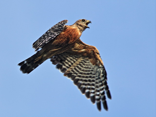 Red-shouldered hawk 20150803