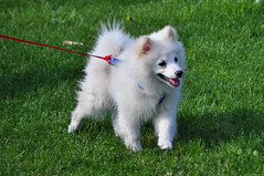 dog breed, animal, german spitz klein, dog, japanese spitz, pet, norwegian buhund, volpino italiano, german spitz, german spitz mittel, carnivoran, american eskimo dog, samoyed, pomeranian,