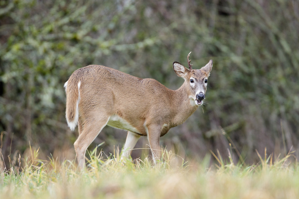 A young Columbian white-tailed deer eats in a meadow with one of his antlers fallen off