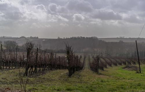 06-Rangs de vigne sous l'averse
