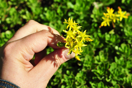 Odenwald Juni 2015 Wildkräuter Blüte Fetthenne Immergrünchen Sedum hybridumFoto Brigitte Stolle