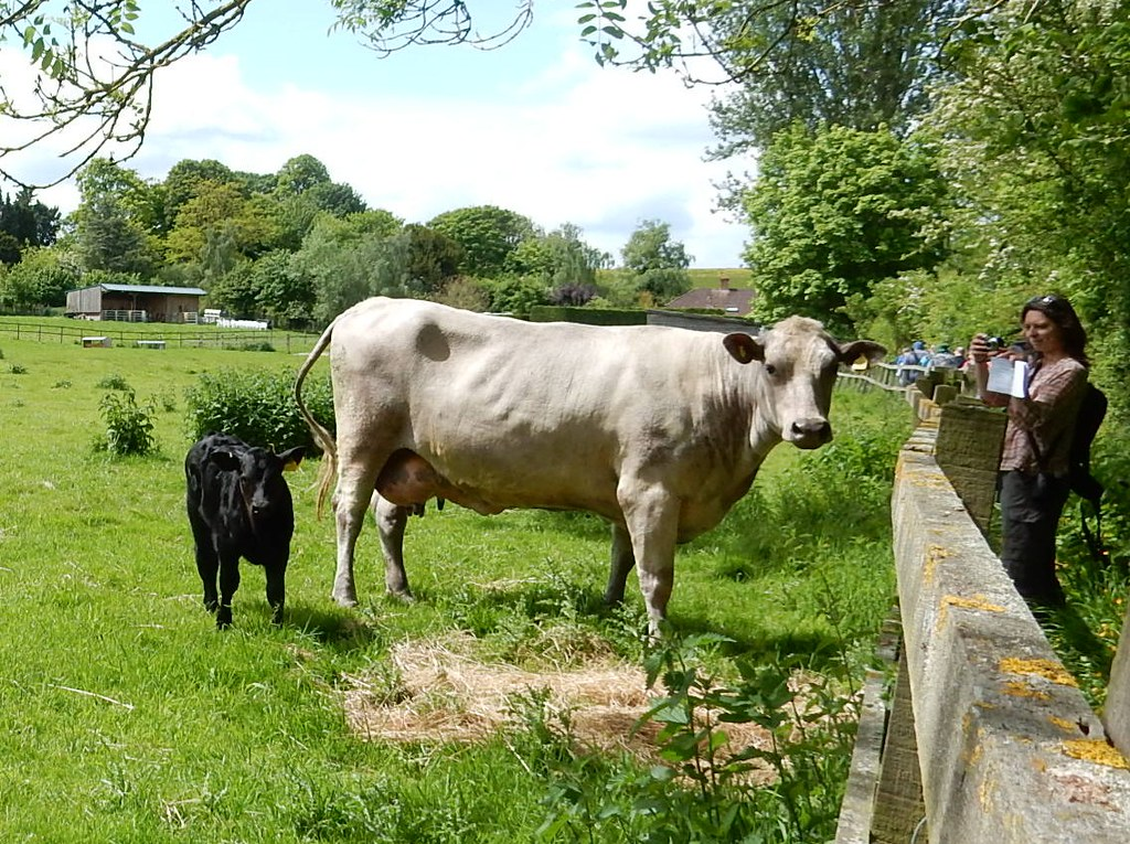 Curious cow and calf Whitchurch to Andover