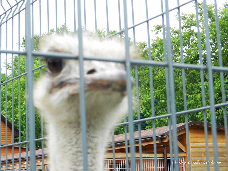 Знаменитые межигорские страусы