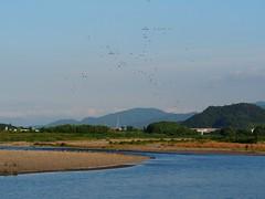 Cormorants (カワウ) over Yasugawa