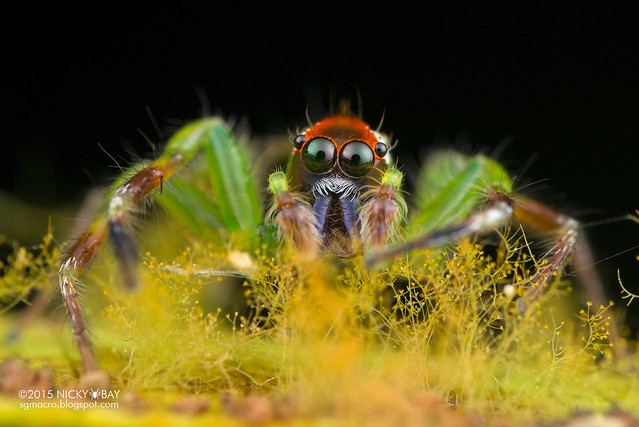 Jumping spider (Epeus sp.) - DSC_3887