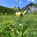 Cypripedium calceolus (Lady's Slipper Orchid) (Kerrie Porteous)