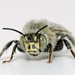 Anthophora quadrimaculata - male by afterforty‽