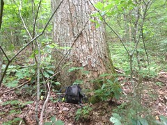 Fairly Large Oak