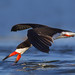 Black Skimmer by E_Rick1502