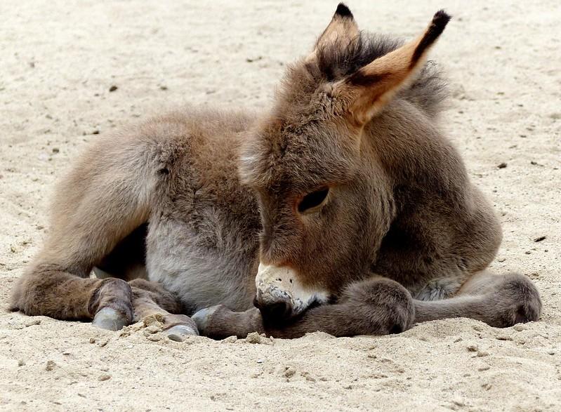 Cute baby:) a donkey foal (explore 2015-07-27)
