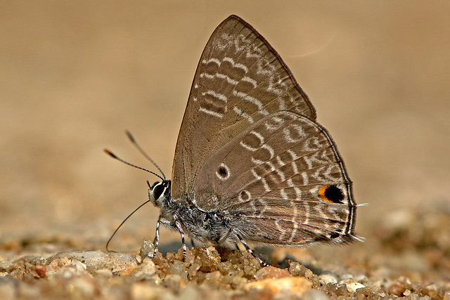 Anthene lycaenina - the Pointed Ciliate Blue