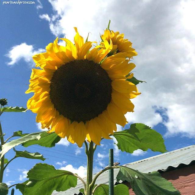 fairbanks_sunflower_web