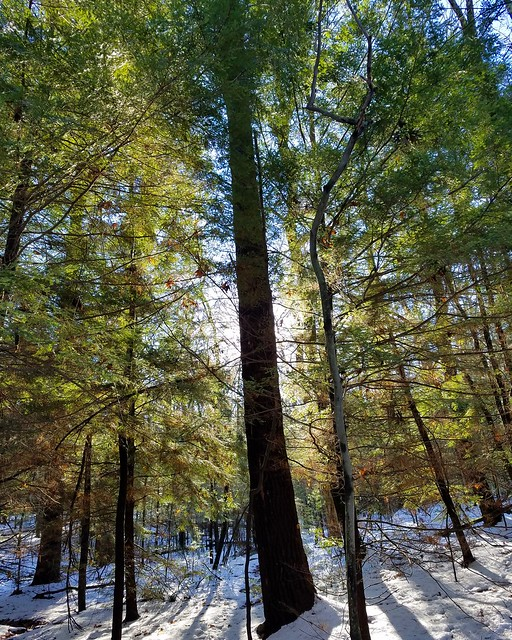 White pine tree, Loyalsock Trail