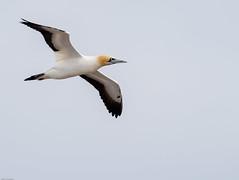 ZA Lamberts bay, Bird island