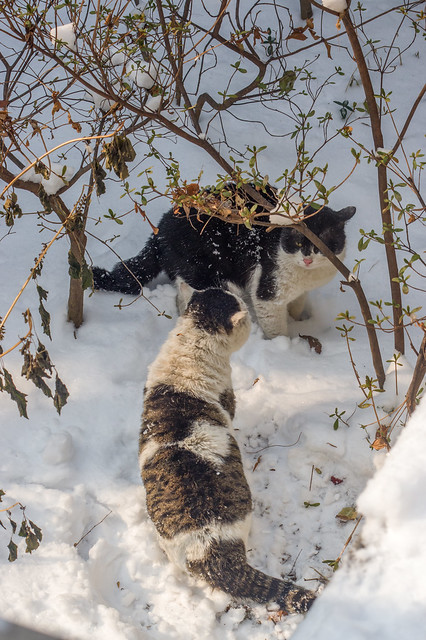 Tom cats in conflict