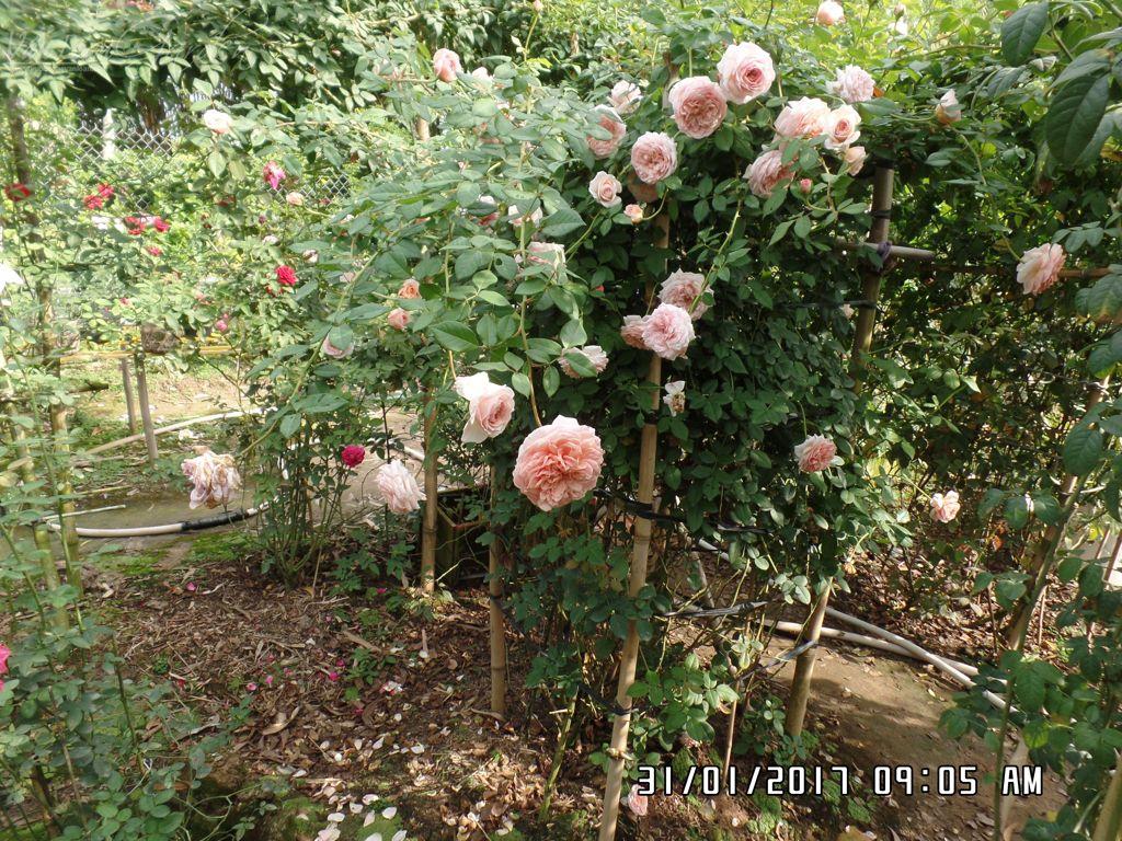hoa hong ngoai abraham darby trong tai lang hoa sa dec (3)-vuonhongvanloan.com