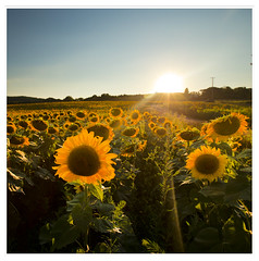 Sunflowers, New York