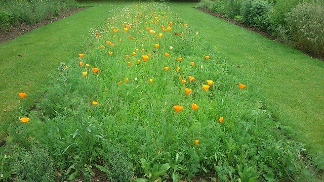 Aster bed, but poppies?