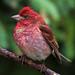Male Purple Finch by Clyde Barrett