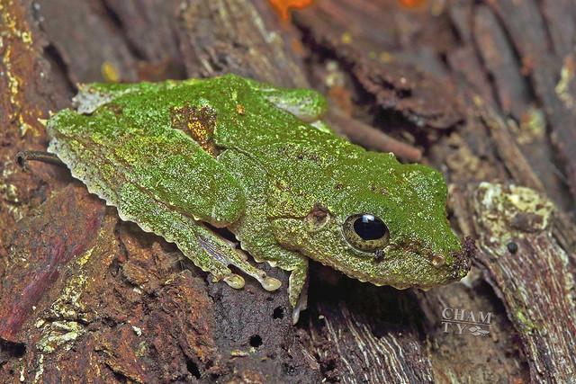 Frilled tree frog (Kurixalus appendiculatus)