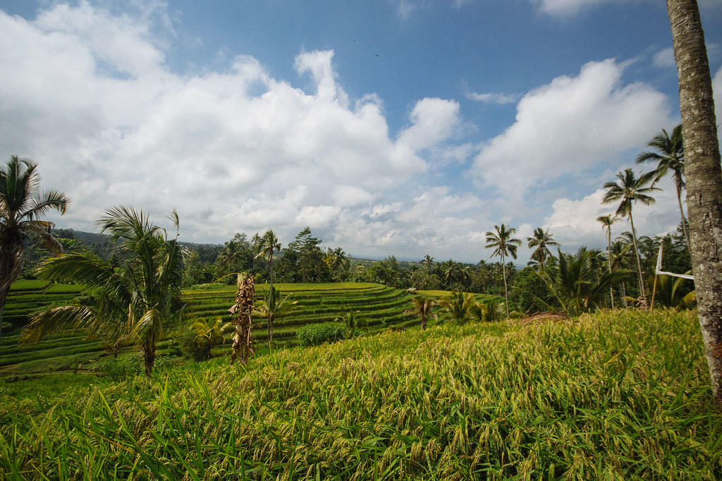Terraced Rice Paddies, Bali - South East Asia