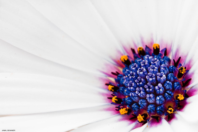 White Daisy Flower (Osteospermum)
