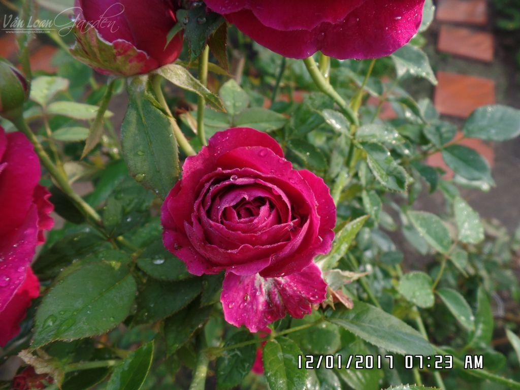 hoa hong ngoai the prince rose tai lang hoa sa dec (12)-vuonhongvanloan.com