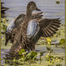 Blue Winged Teal 2 by Mr Woodchip