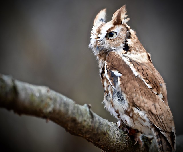 Eastern Screech-Owl - Explore #101 2-16-17 (Megascops asio) - Stillman Nature Center - South Barrington IL