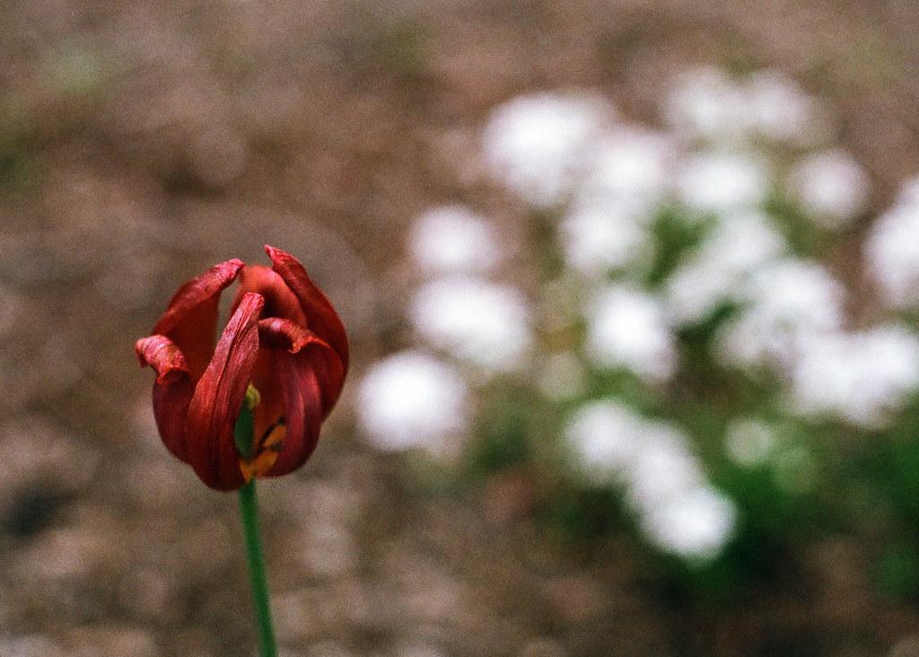 Spent tulip