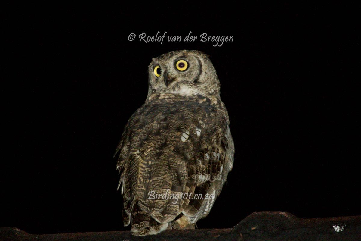 Spotted Eagle-Owl – birding101.co.za