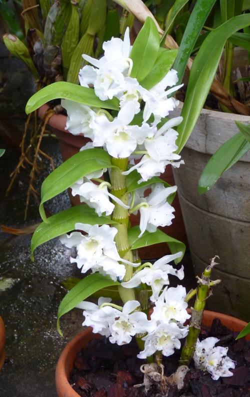 Dendrobium nobile 19899581349_98b61ea363_o