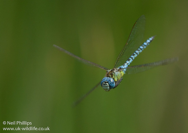 Southern migrant hawker-4