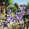 Our new agapanthus, a gift from friends whose garden has become too full.