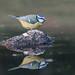 Herrerillo común - Cyanistes caeruleus by rio en medio - Jose On/Off