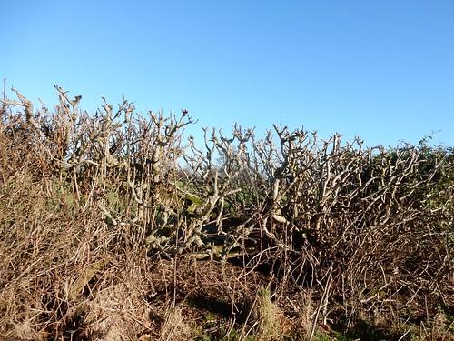 Blue sky, brown hedge