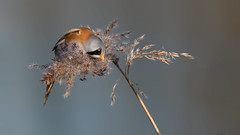 HolderBearded Tit