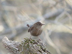 Winter Wren/ Long Branch Farm/ 2-5-2017