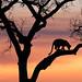 The Way of the Leopard by Marsel van Oosten