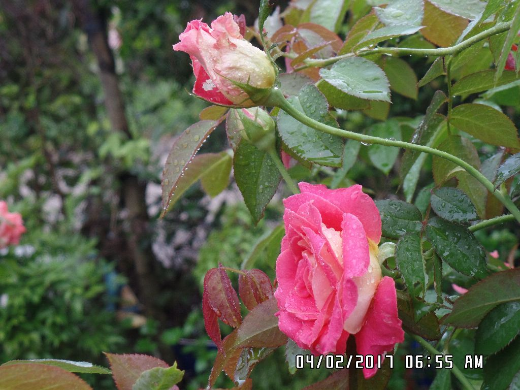 Mặt trong và mặt ngoài của cánh hoa hồng 2 da có màu sắc khác nhau
