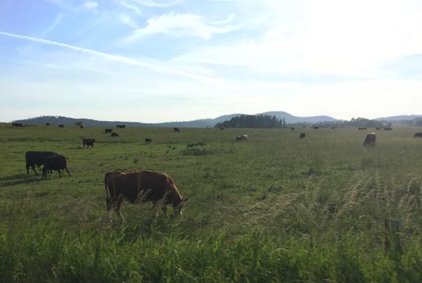 Cows at Friday Harbor