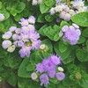 Blue Danube ageratum, or Just the Prettiest Color Ever ageratum. This lightest shade is a contender for my backyard writer's studio wall color. #garden #flowers #ageratum #bluedanube