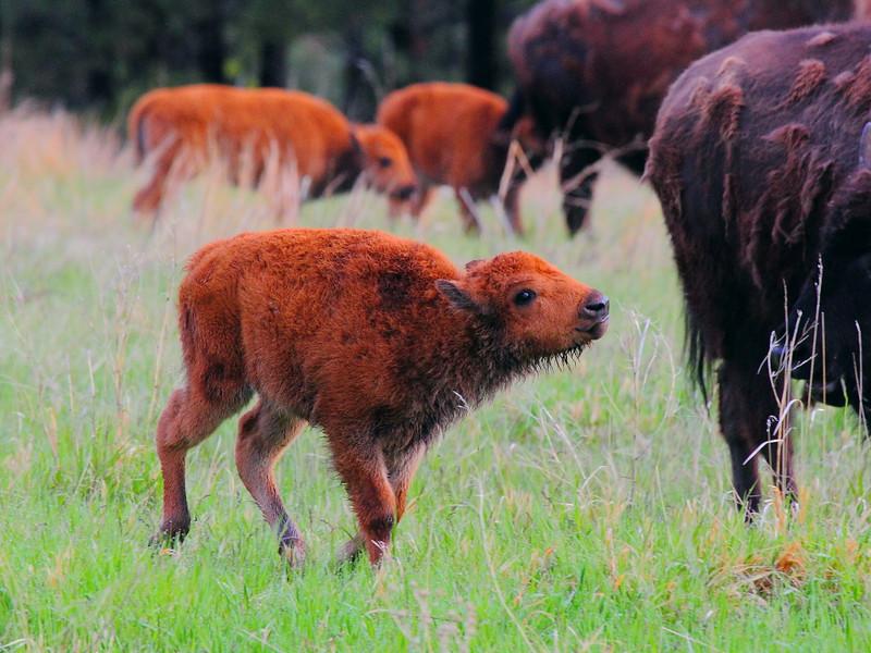 IMG_9685 Bison Calf, Custer State Park