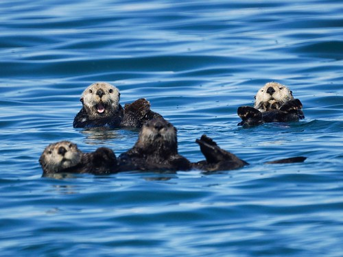 Sea Otters | by Mike's Birds