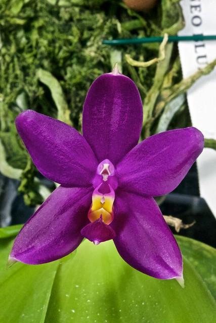 Phalaenopsis bellina borneo blue 19656607776_fe2456d824_z