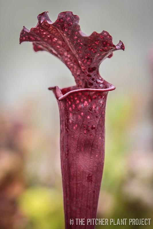 "Sarracenia ""Blood Moon"""