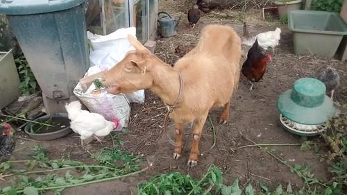 goats July 15 (7)