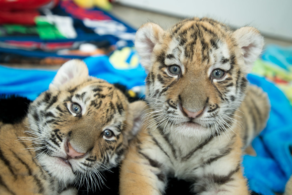 Tiger Cubs 2012- G. JonesGrahm S. Jones, Columbus Zoo and Aquarium